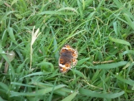 kupu-kupu di atas rumput